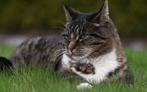Picture cat, grass, cat, look, face, grey, background, portrait, lies, striped