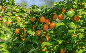 Picture summer, leaves, light, branches, tree, garden, fruit, fruit, on the tree, apricots, ripe, hang