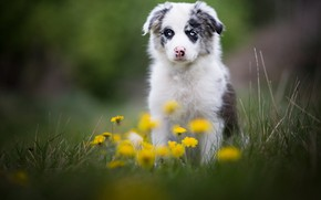 Picture grass, look, nature, glade, portrait, dog, spring, cute, puppy, dandelions, face, sitting, blue-eyed, the border …