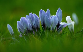 Picture glade, spring, blue, crocuses