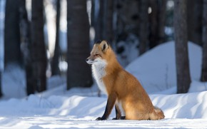 Picture winter, forest, look, light, snow, trees, nature, trunks, Fox, the snow, red, sitting