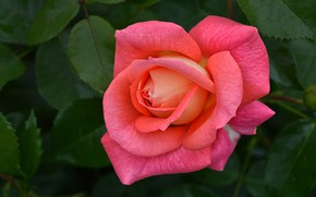 Picture leaves, pink, rose, petals, Bud