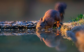Picture grass, look, water, pose, reflection, protein, animal, drink, pond, squirrel, Berezhok