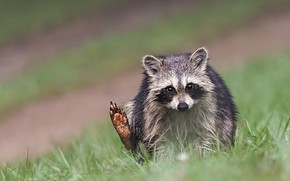 Picture grass, look, pose, background, raccoon, sitting, cub, foot