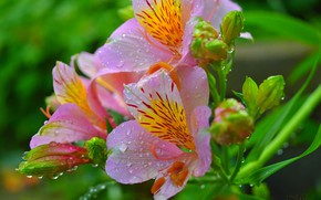 Picture Drops, Drops, Pink flowers, Pink flowers