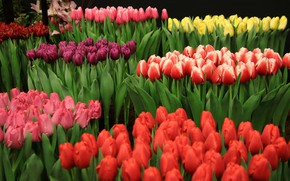 Picture tulips, colorful, flowering