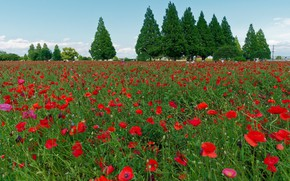 Picture greens, summer, trees, flowers, Maki, red, poppy field