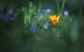Picture greens, grass, leaves, flowers, yellow, green, background, glade, one, blur, spring, Bud, blue, crocuses, flowers, ...