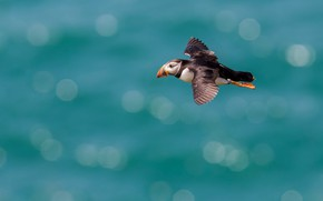 Picture sea, flight, bird, stalled, pond, bokeh, over the water, turquoise background, soars, Atlantic
