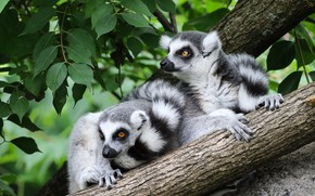 Picture look, leaves, branches, nature, pose, tree, paws, pair, lemur, lemurs, a couple, Duo, on the …