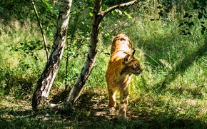 Picture summer, grass, look, light, trees, nature, pose, trunks, foliage, shadows, birch, walk, lynx