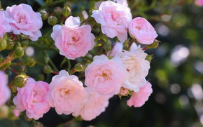 Picture Bush, roses, branch, garden, pink