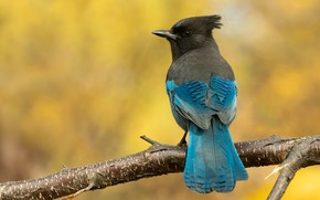 Picture bird, branch, yellow background, bokeh, Jay