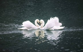 Picture water, birds, pose, reflection, ruffle, pair, Swan, white, Duo, swans, heart, two, pond, swimming, two …