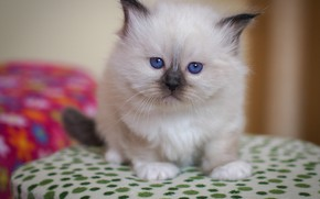 Picture look, pose, kitty, background, fluffy, small, baby, muzzle, fabric, kitty, blue eyes, sitting, color-point, ragdoll