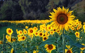 Picture field, summer, sunflowers, flowers, yellow, a lot
