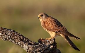 Picture nature, background, bird, branch, bark, Falcon, bitches, predatory, Kestrel