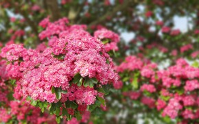 Picture flowers, pink, green, Bush, summer, pink, flowers