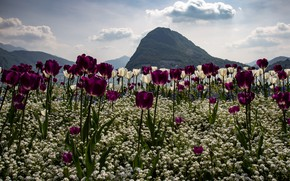 Picture field, clouds, landscape, flowers, mountains, nature, mood, hills, glade, mountain, beauty, spring, meadow, purple, tulips, ...