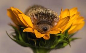 Wallpaper flower, needles, yellow, background, sunflower, petals, nose, barb, muzzle, hedgehog, hedgehog, hedgehog, the best