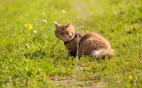 Picture greens, cat, summer, grass, look, light, pose, kitty, glade, red, collar, walk, kitty, face, sitting, …