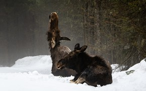 Picture winter, forest, snow, branches, nature, pose, fog, pair, two, moose, muzzle, lie, moose, calf, moose