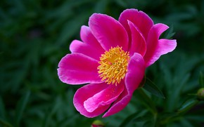 Picture flower, macro, pink, spring, peony