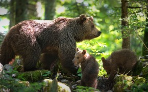 Picture forest, bears, bears, bear, two of the bear, Alexander Perov