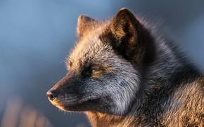 Picture face, background, portrait, Fox, Silver Fox