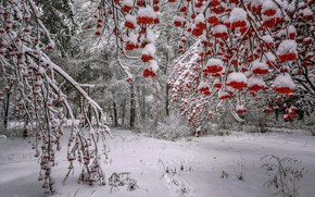 Picture winter, forest, snow, trees, branches, berries, Russia, Rowan, bunches, Лора Павлова