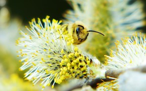 Picture macro, bee, background, pollen, blur, spring, insect, kidney, Verba