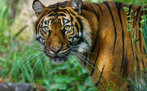 Picture Nature, Look, Tiger
