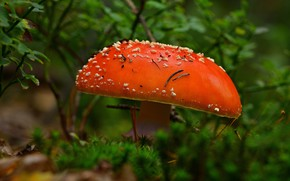Picture bright, glade, mushroom, mushroom, hat