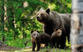 Picture forest, bears, three, bear, trio, brown, the three bears, medenica