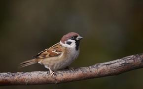 Picture branch, Sparrow, bird