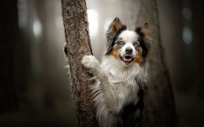 Picture look, tree, dog, paws, bokeh, The border collie