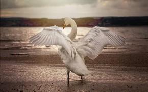 Picture water, bird, wings, Swan, monochrome