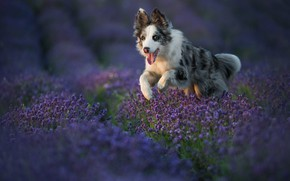 Picture language, look, flowers, nature, pose, dog, running, puppy, walk, lavender, lilac, the border collie, lavender …