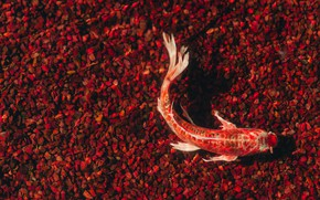 Picture water, red, transparent, stones, fish, carp