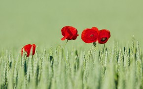 Picture wheat, field, summer, flowers, Maki, red, ears, cereals, green background, wheat field