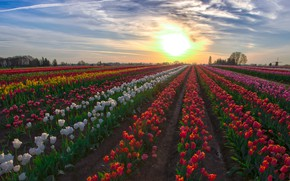 Picture field, tulips, the ranks, plantation