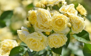 Picture roses, a lot, yellow
