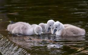 Picture birds, kids, swans, Chicks, pond, swimming, Quartet, four, brood, the Lebeda, Lebedenko, Lebedenko