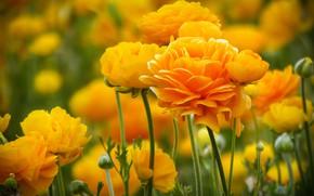 Picture buds, yellow, bokeh, Ranunculus