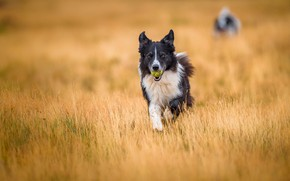Picture field, dogs, look, face, nature, background, the game, the ball, dog, running, walk, the ball, …