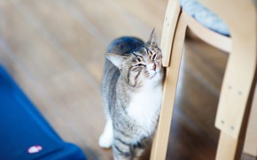 Picture cat, cat, face, pose, chair, floor, the expression, bokeh, blurred background, rubs