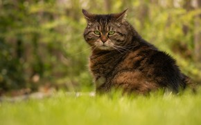 Picture cat, summer, grass, cat, face, pose, green, grey, background, sitting, striped
