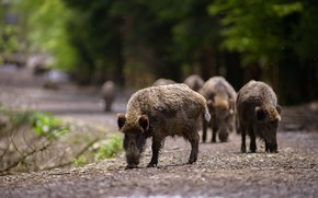 Picture road, forest, branches, pose, Park, background, pig, walk, boar, wild, the herd, bokeh, pigs, hog, …