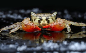 Picture look, macro, crab, portrait, black background, bokeh