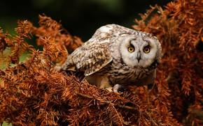 Wallpaper branches, owl, owl, bird, needles, look, pose